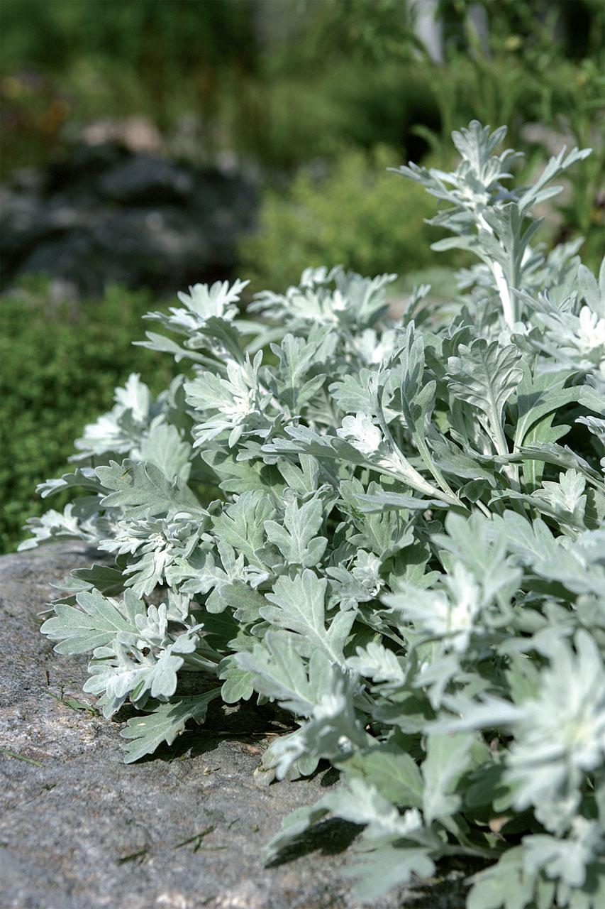 Hopealehtinen hiekkamaruna (Artemisia stelleriana) menestyy vettä läpäisevässä maassa.