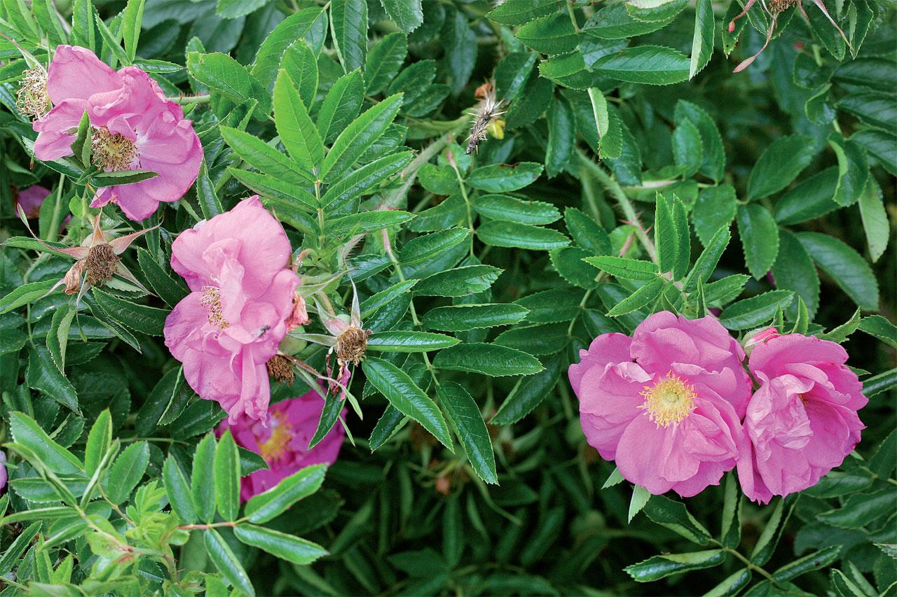 Keijunruusu (Rosa 'Dart's Defender') sietää myös paahdetta. Nukke- ja hansaruusun risteymässä yhdistyvät molempien lajien hyvät ominaisuudet.
