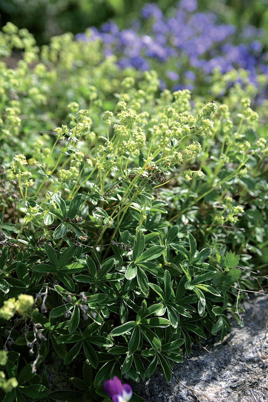 Tunturipoimulehti (Alchemilla alpina) on jättipoimulehteä harvinaisempi. Pienilehtinen ja matala perenna sopii aluskasviksi ja leviää pensasmaisesti.