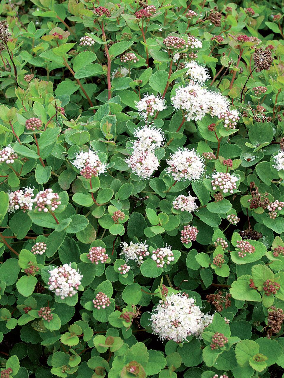 Verhoangervo (Spiraea beauverdiana 'Lumikki') viihtyy hyvinkin kuivassa paikassa. Tämä terve ja matalahko FinE-lajike soveltuu luiskiin ja kivikkoryhmiin maanpeittäjäksi.