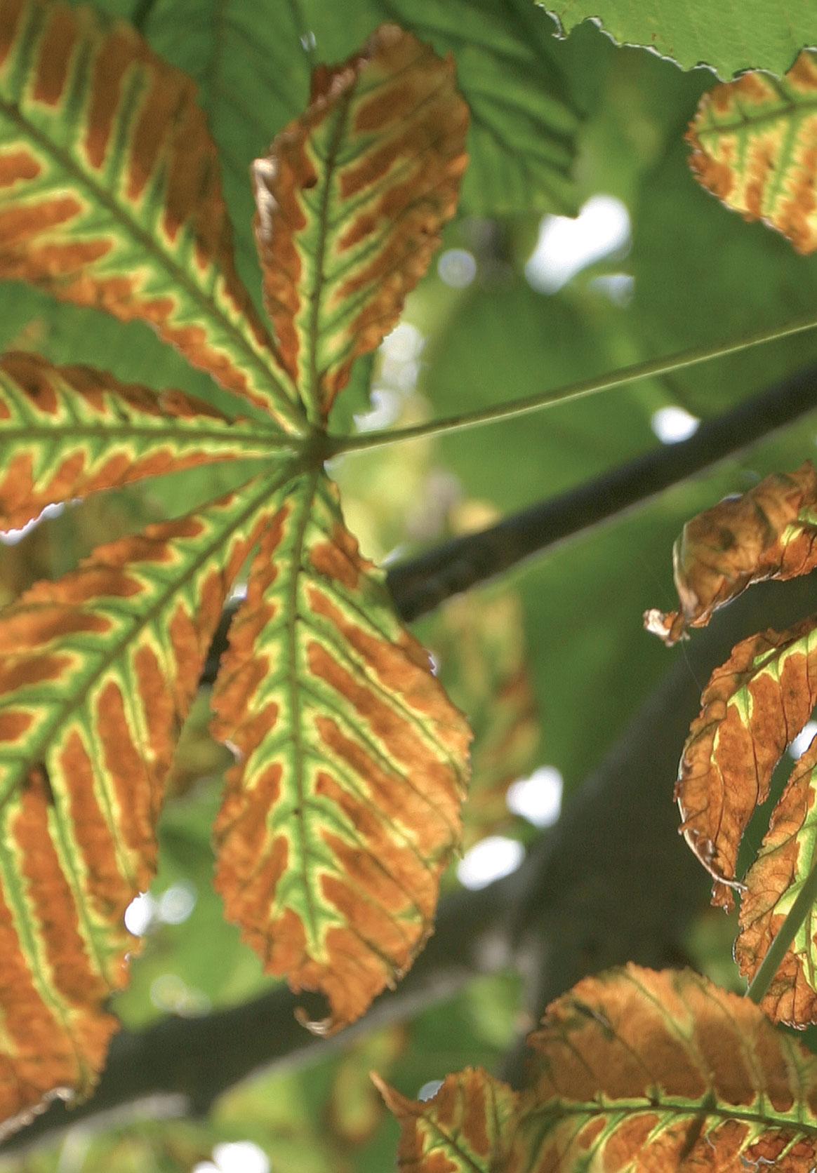 Hevoskastanjan lehtivihreä on hajoamassa, ja puu alkaa valmistautua talven tuloon.