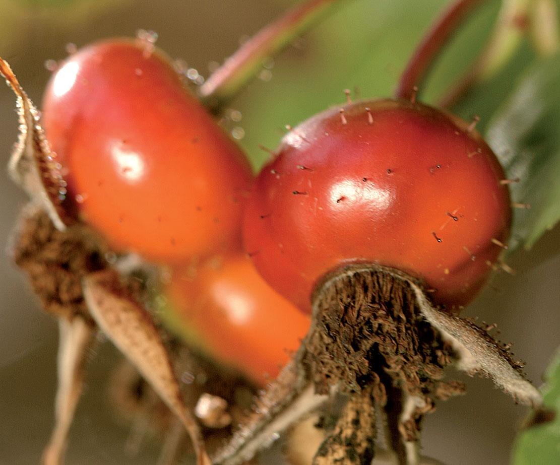Karoliinanruusun oranssit kiulukat ovat pienet, pyöreät ja nystykarvaiset. Laji kuuluu pohjoisamerikkalaisiin luonnonruusuihin.