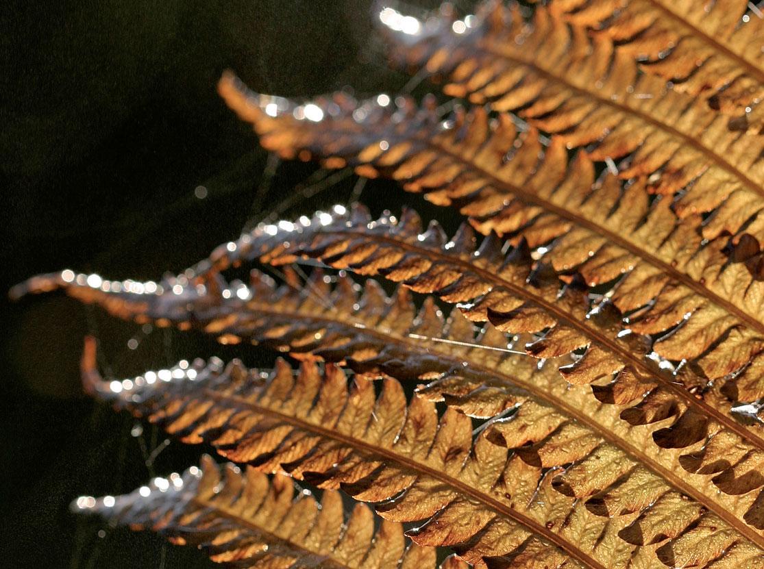 Vihreän kotkansiiven (Matteuccia struthiopteris) lehdistö kauhtuu syksyllä kuulaan kullanruskeaksi.