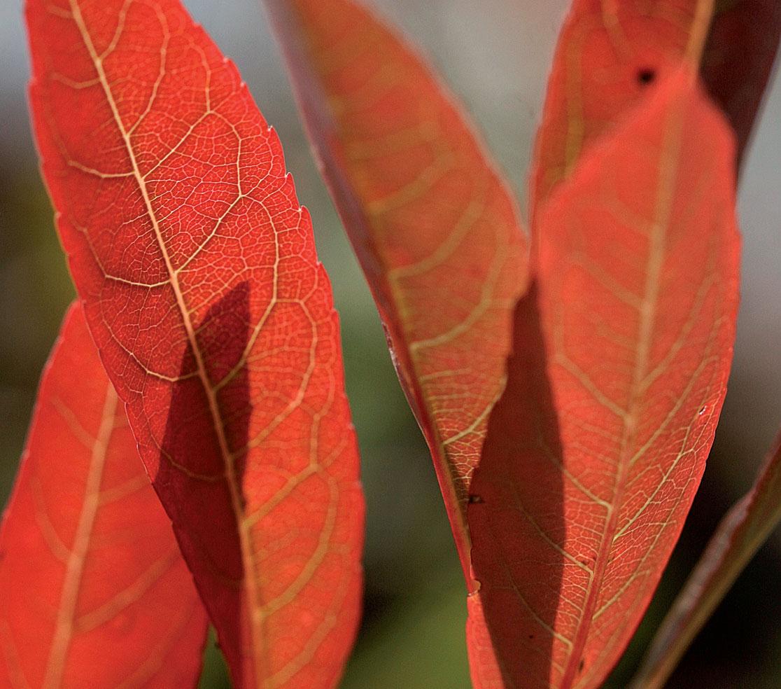 Lamohietakirsikka peittää maanpinnan. Laji värittyy syksyisin yleensä voimakkaasti punaiseksi.