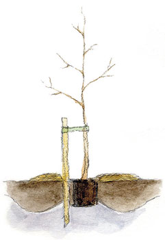 Istuta astiapuun taimi maljamaisen kuopan keskelle, matalan tiivistetyn kummun päälle.