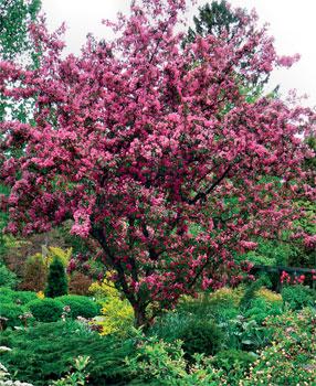 Nopeakasvuiset Puut