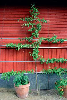 Valitse säleikköpuuksi kestävä lajike, sillä muotoilu heikentää talvenkestoa.