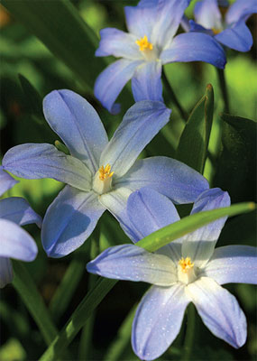 Kukkanurmi, Isokevättähti kasvaa noin 15 sentin korkuiseksi. Sen tunnistaa kalpean sinisestä kukasta ja keskustan vaaleasta tähdestä.
