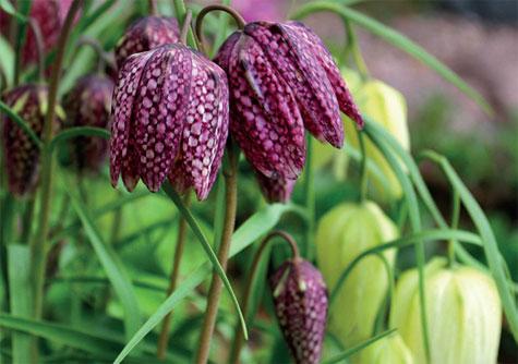 Kirjopikarililja kukkii touko–kesäkuun vaihteessa.