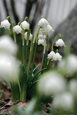 Kevätkello (Leucojum vernum)