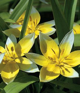 Kukkanurmikko – kevät tuo nurmikolle kauniin kukkamaton, Parvitulppaanit ja muut kasvitieteelliset tulppaanit sopivat matalakasvuisina nurmikoiden kasvateiksi.