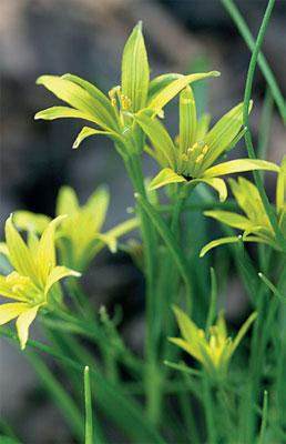 Pikkukäenrieskan rairuohoa muistuttavat lehtituppaat nousevat nurmikolle varhain keväällä.