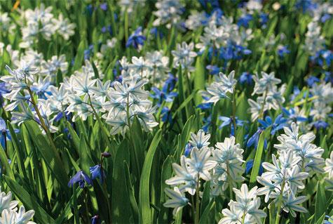 Posliinihyasintti ja idänsinililja eli skilla ovat monesti jo huhtikuussa täydessä loistossaan. Molemmat lajit viihtyvät ja lisääntyvät nurmikoilla hyvin.