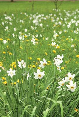 Runoilijannarsissi (Narcissus poeticus 'Actaea') kasvaa niittynä Annalan kartanon puutarhassa Helsingissä.