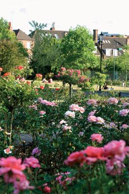 Holland Parkin ruusutarha kukkii upeasti keskikesällä.