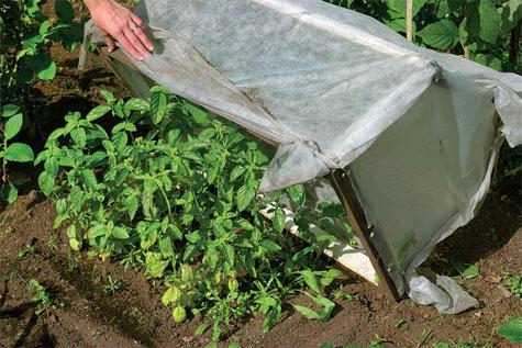 Hallaharsosta ja rimasta kyhätty katos on helppo nostaa basilikan päältä.