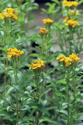 Rohtosamettikukka (Tagetes lucida) muistuttaa maultaan ranskanrakuunaa.