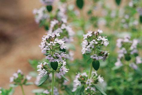 3. Sitruunatimjamin (Thymus x citriodorus) versoilla saat ihanan aromin vihreään teehen.