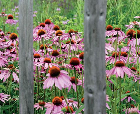 Auringonkukka houkuttelee perhosia puutarhaan.