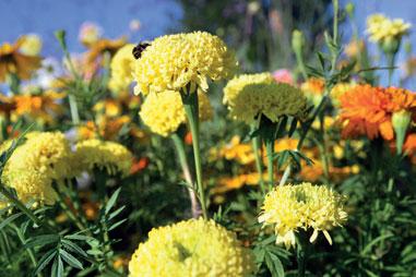 Isosamettikukan pallomaiset kukat kestävät säästä riippuen 1–2 viikkoa.