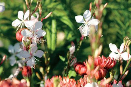 Kesäkynttilän (Gaura) herkät kukat olivat muotia jo 1800-luvulla.