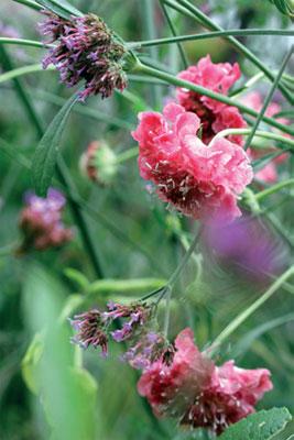 Koreatörmäkukka (Scabiosa atropurpurea) 'Rosa' ja jättiverbena.
