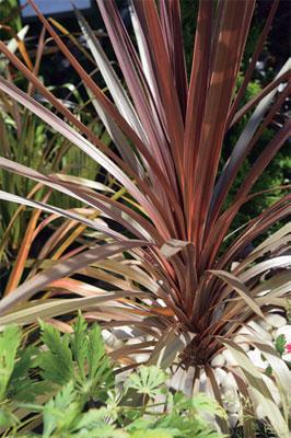 verililjapuu (Cordyline fruticosa)