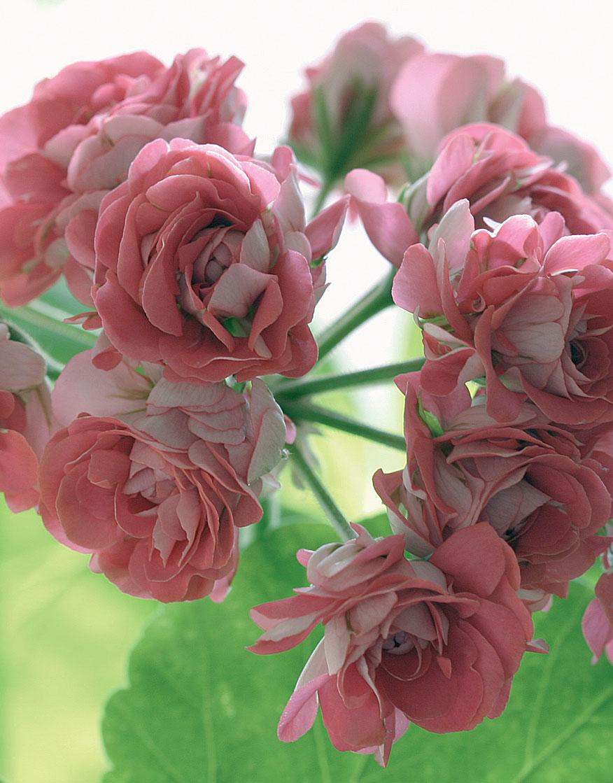 Ruusunnuppupelargoni 'Pink Rosebud'