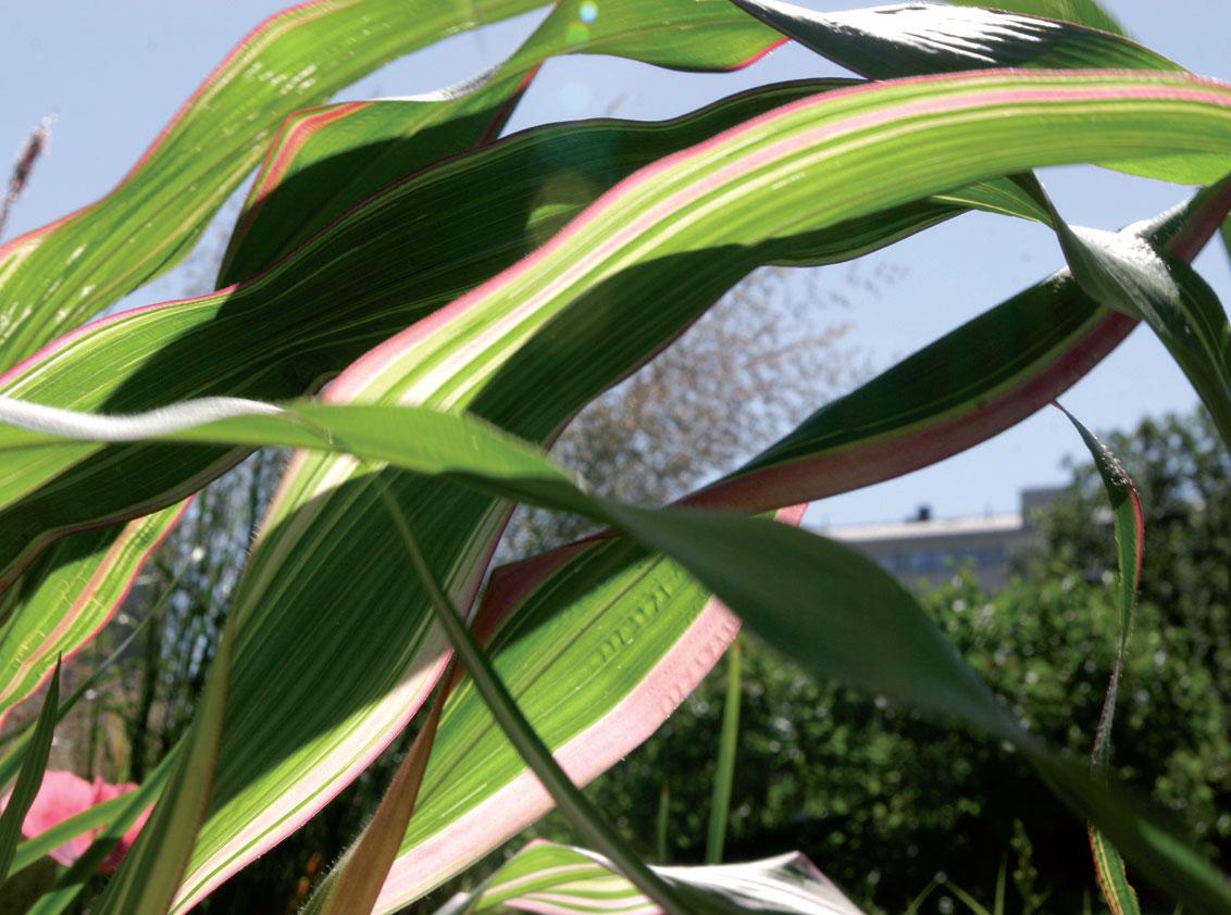 Koristemaissi (Zea mays var. japonica)