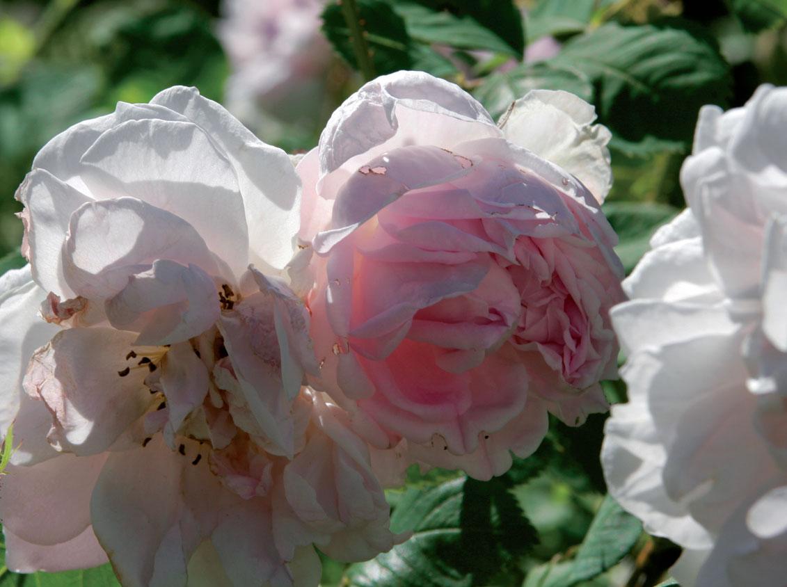 Mustialanruusu (Rosa) 'Minette'