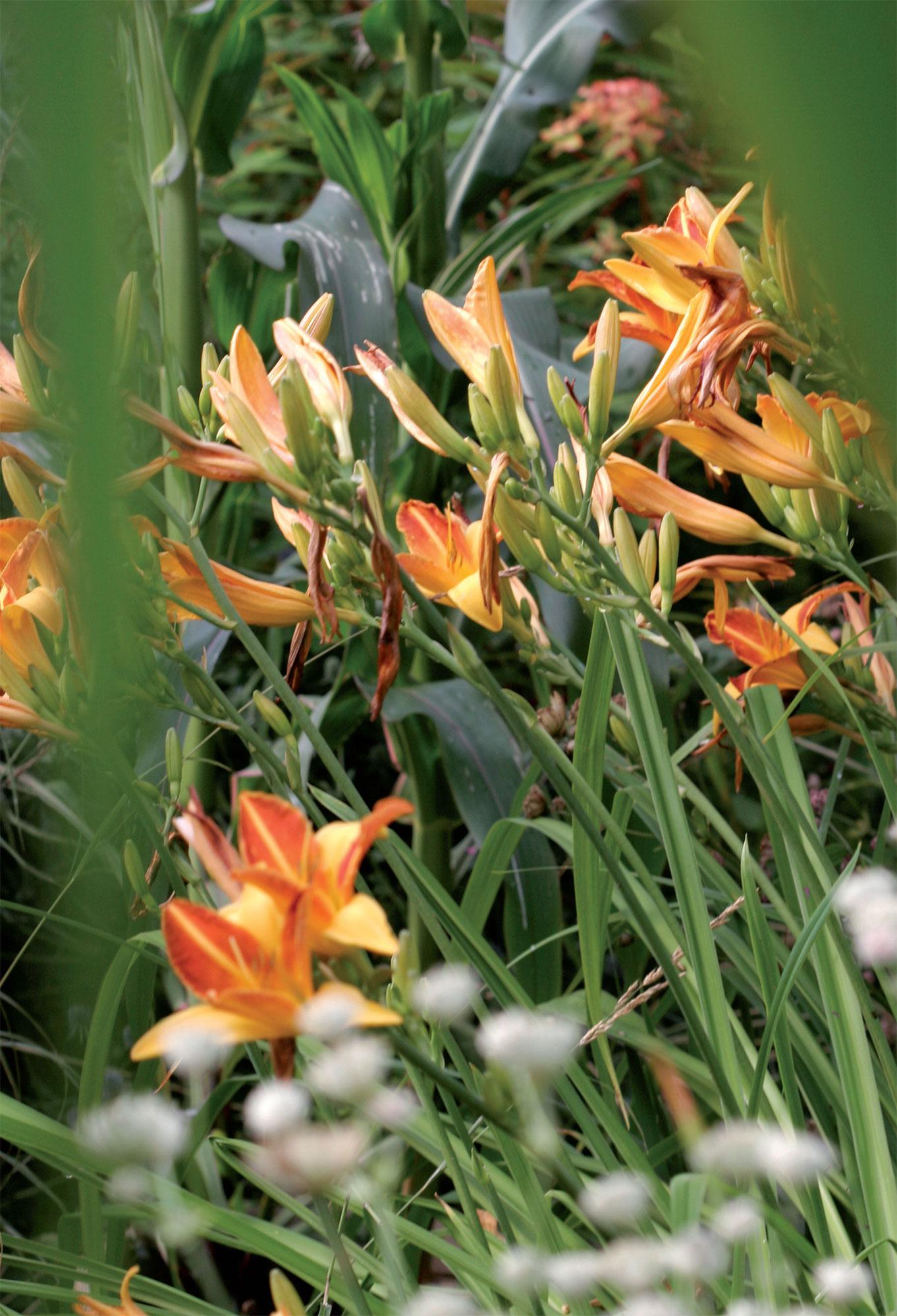 Pävänliljan (Hemerocallis) oranssi Frans Hals -lajike on parhaimmillaan heinäkuussa.