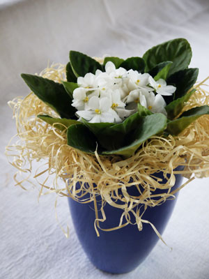 Itsenäisyyspäivän kukat ovat sinisiä ja valkoisia.