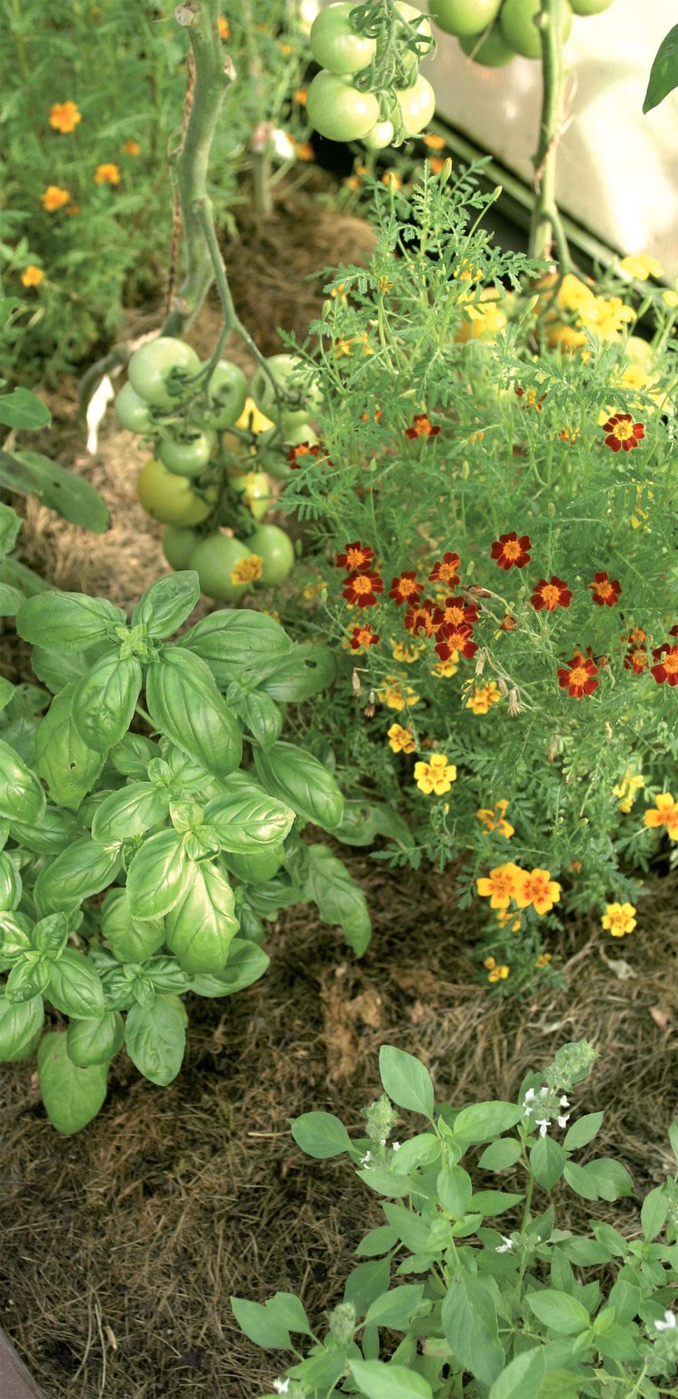 Virpi levittää ruohosilppua kasvihuoneeseen usein, mutta ohuina kerroksina. Sama hiekka palvelee niin kauan kuin kasvit pysyvät terveinä.