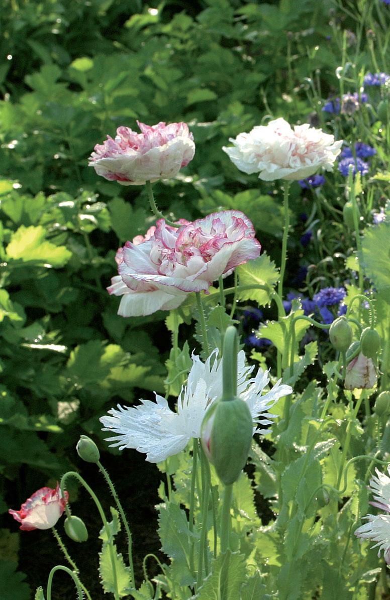 Silkkiunikot (kuvassa), kehäkukat ja ruiskaunokit ovat vaatimattomia lajeja, joille Virpi levittää ruohokatetta muutaman kerran kesässä. Ruusupavut vaativat silppua viikoittain.