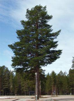Metsämänty on näyttävä yksittäispuu ja se muodostaa avoimella paikalla tasapainoisen latvuksen.