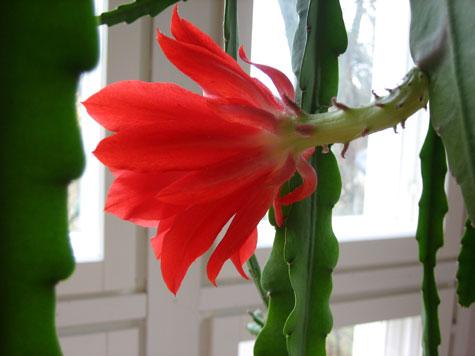 Pojanhovikaktus on parasta sijoittaa korkeaan kukkatelineeseen, jotta versot saavat laskeutua vapaina.
