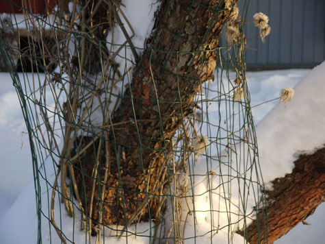 Alppikärhö on suojattu verkolla rusakoiden varalta.