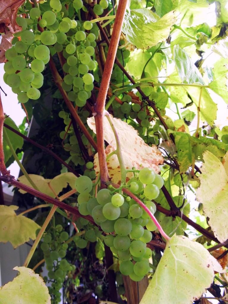 Fabel on yksi suosituimmista viinilajikkeista.