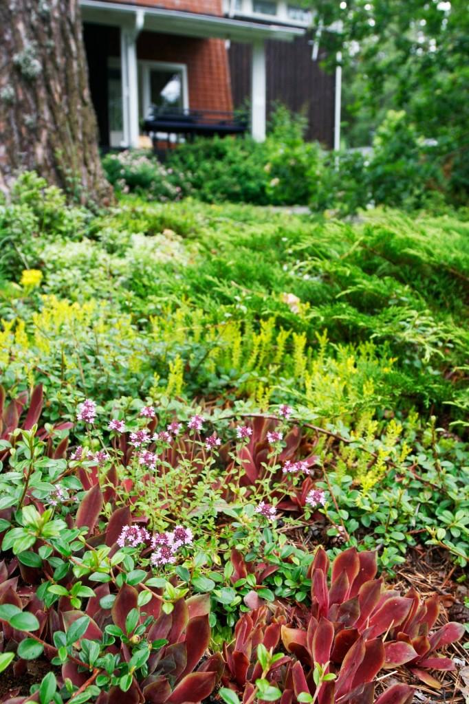 Maanpeittokasvit, Maksa- ja ajuruohot sekä mehitähdet