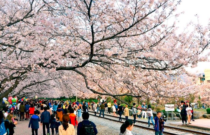 Kirsikankukkia - Busan, Korea