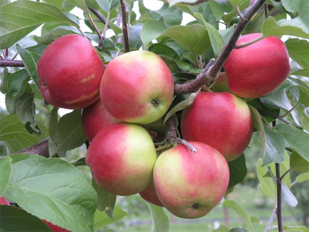 Heta - kotimainen omenalajike