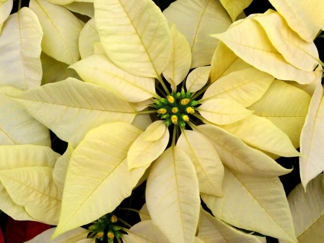 Vaikka punainen on edelleen suosituin joulutähden väri, kasvaa valkoisten osuus koko ajan. Kuva: sxc.hu