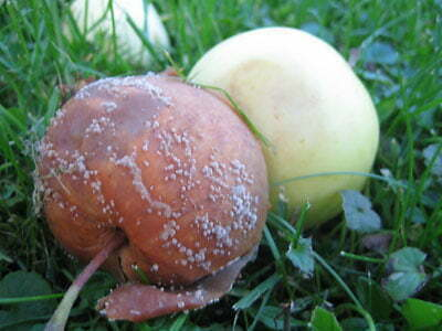Omenan Muumiotauti
