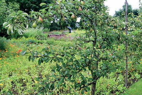 Omenapuun Istutus Savimaahan