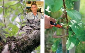 Omenapuun Syysleikkaus