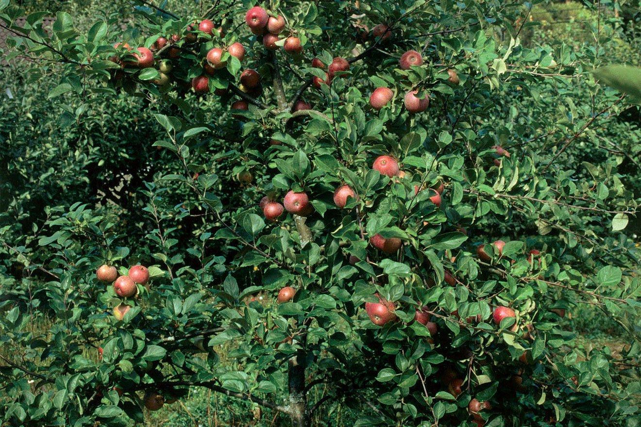 Omena Pirja
