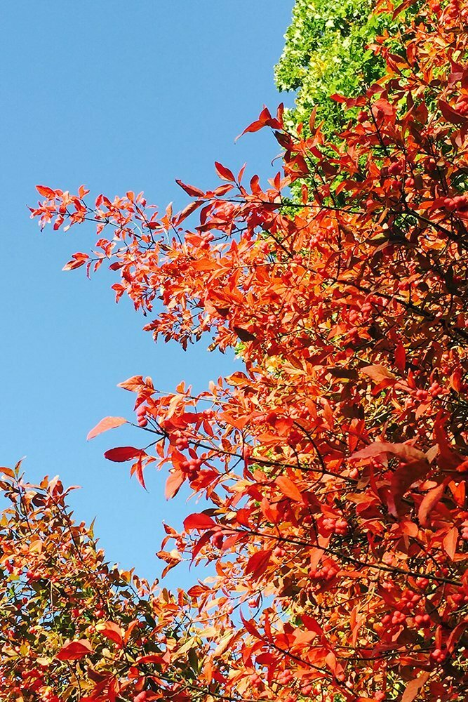 euonymus_europaeus_red_cascade