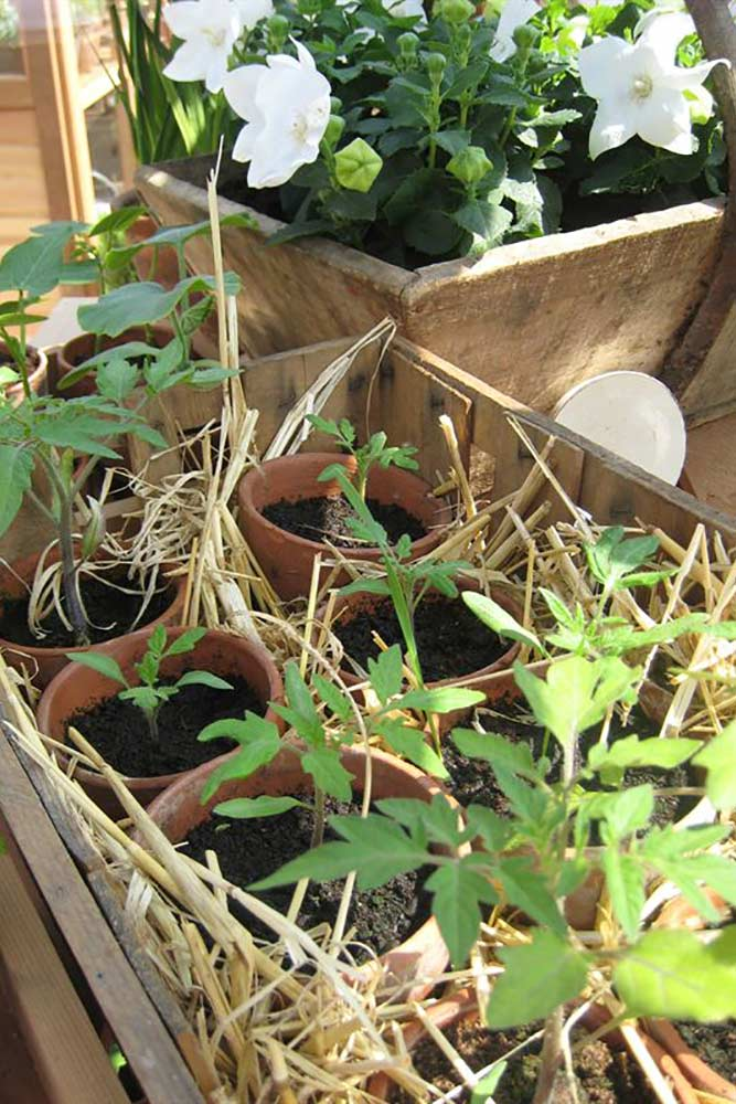 Tomaatin ehtii kylvää vielä maaliskuussa – sammal helpottaa kastelua