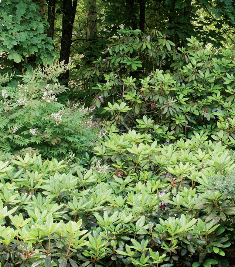 Isoisän merkkipäiville aikoinaan tuotu alppiruusuvanhus muodostaa varjoisalle perennapenkille rehevän vihreän taustan.