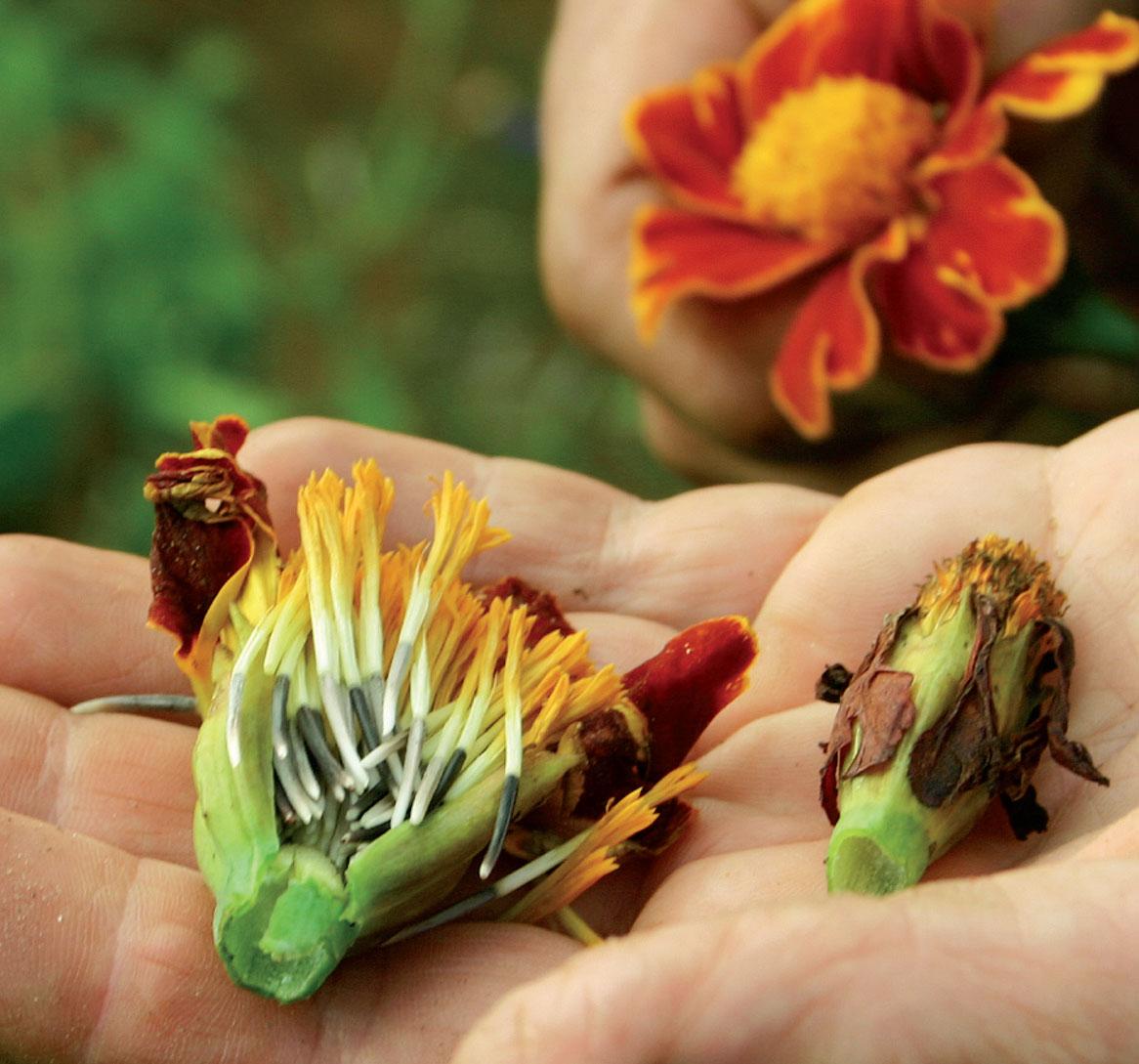 Talleta kääpiö- ja ryhmäsamettikukkien siemenet seuraavan kevään kylvöksiä varten